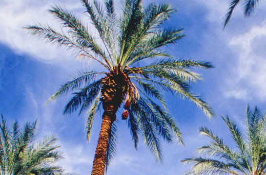 The seeds of Judean date palms turn out to have remarkable longevity