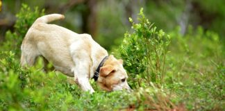 COVID-19: dogs trained to sniff out coronavirus