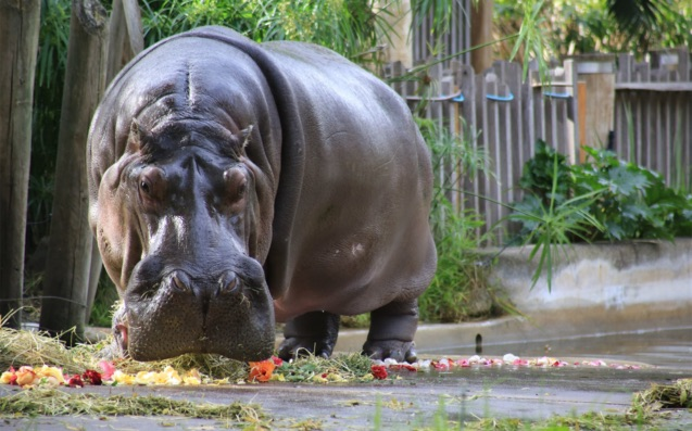 Australia's oldest hippo dies in Adelaide, At Age 54