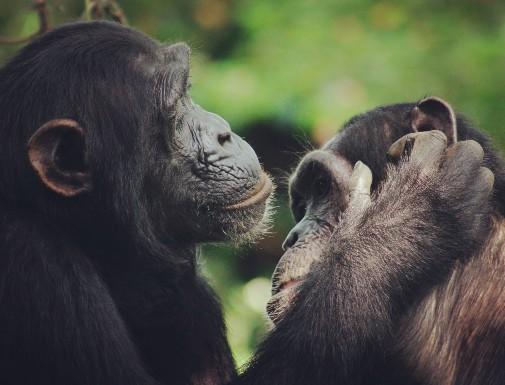 Chimps Smack Their Lips in Rhythms Similar to Human Language (Study)