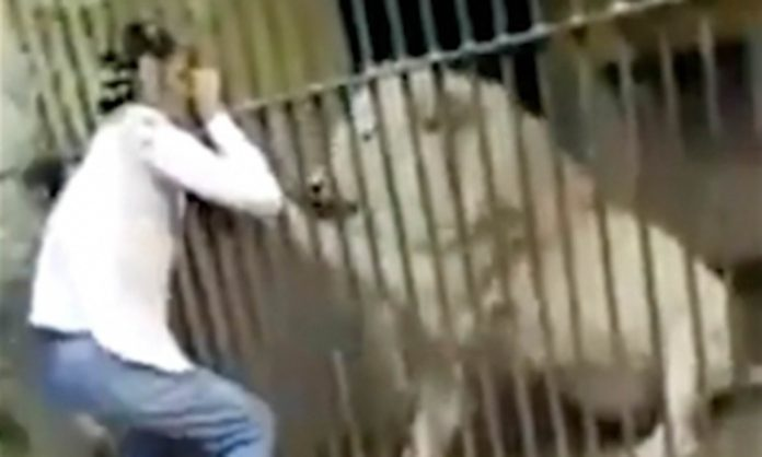 Lions Maul Zookeeper at Australian Zoo, Report