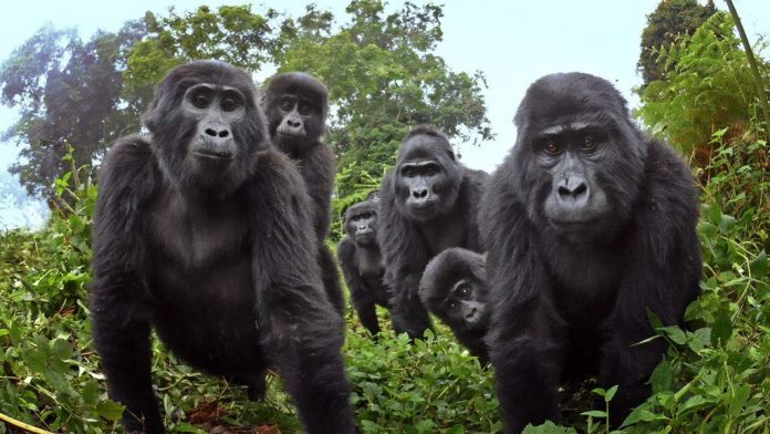 Robot 'spy' gorilla records wild gorillas singing (Watch)