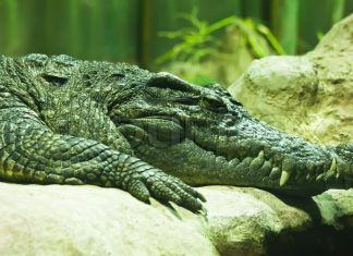 Saturn: Alligator rumored to have been Hitler's dies in Moscow