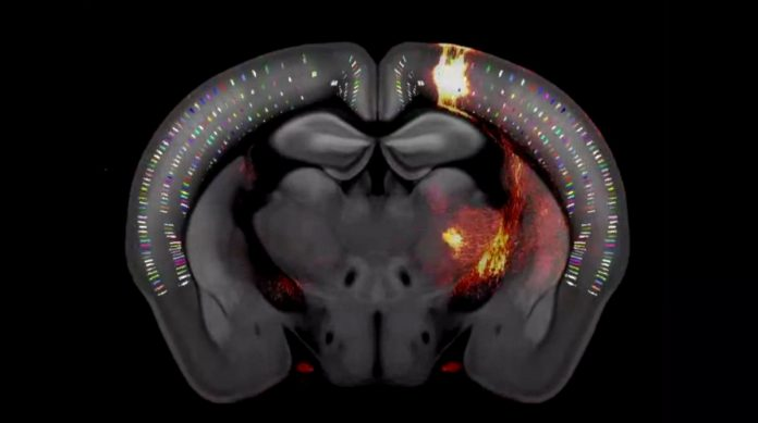 The first high-resolution 3D map traces every neuron in a tiny mouse brain