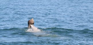 Dolphins learn this fish-catching trick from their peers (News)