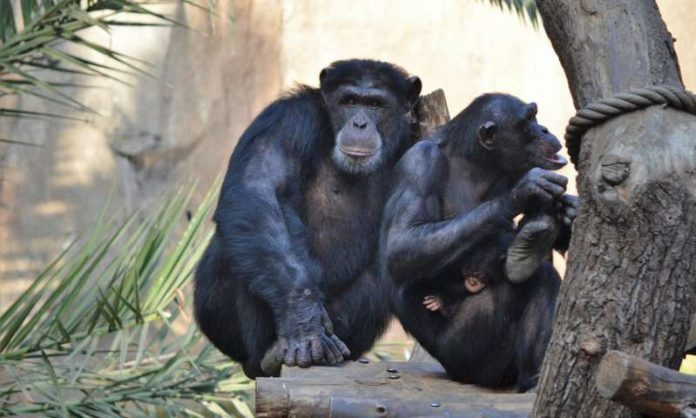 Researchers discovered a rare heart bone in chimps