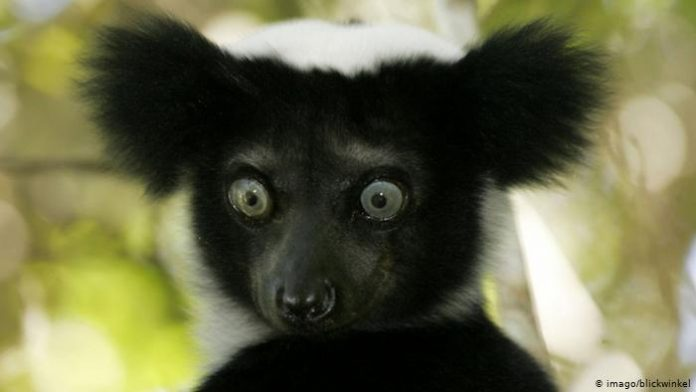 Extinction: One third of all lemurs 'on the brink', Report