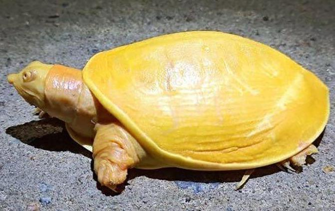 Rare yellow turtle discovered in India (Watch)