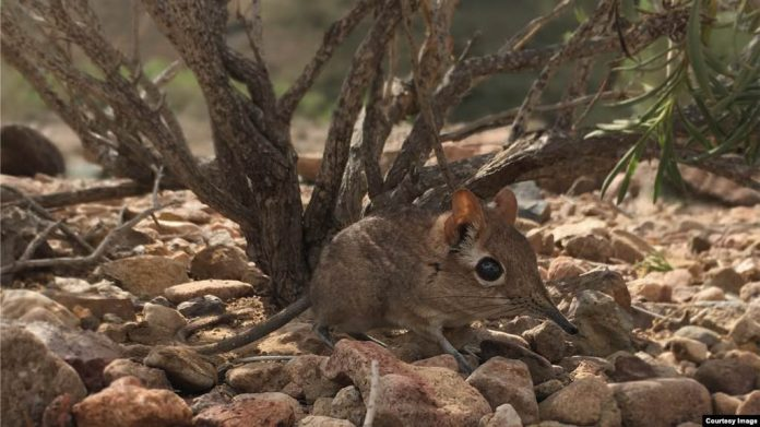 Mouse-sized Elephant Shrew Rediscovered in Africa (News)