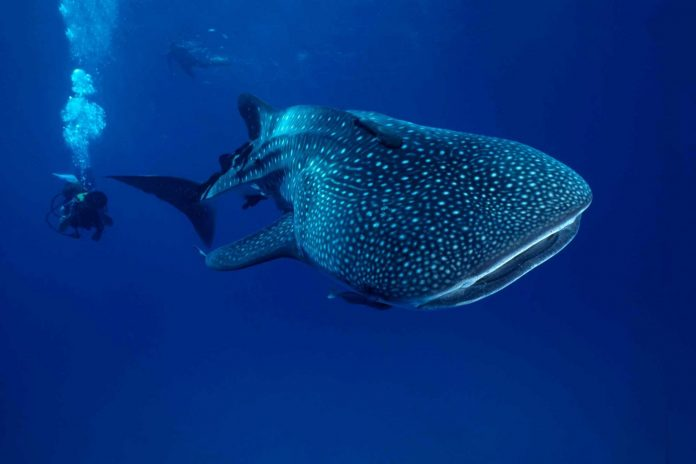 Female Whale Sharks Overtake Males to Become World's Largest Fish, Researchers Say