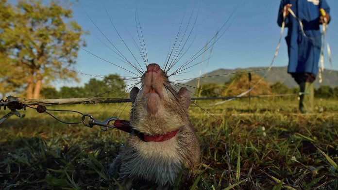 Hero land mine-detection rat awarded a gold medal, Report