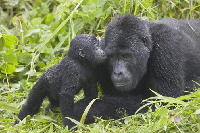 Mountain gorilla baby boom offers Ugandan park hope after killing of silverback, Report