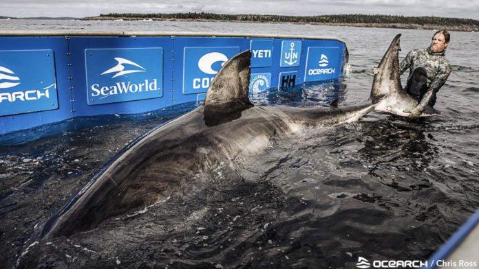 Nukumi, great white shark caught off coast of Nova Scotia