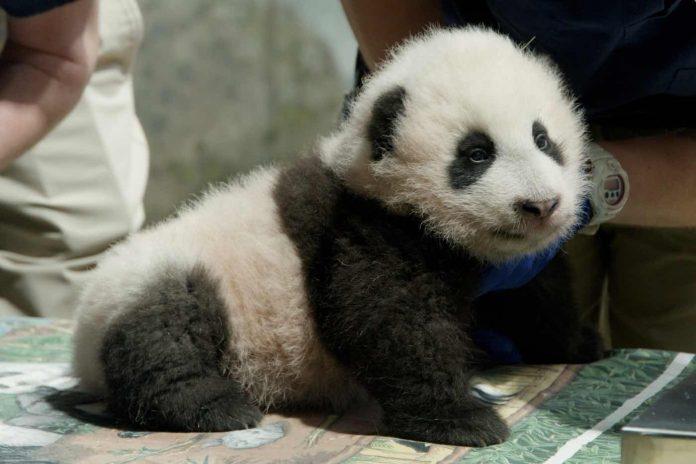 DC National Zoo Panda Cub Named Xiao Qi Ji or