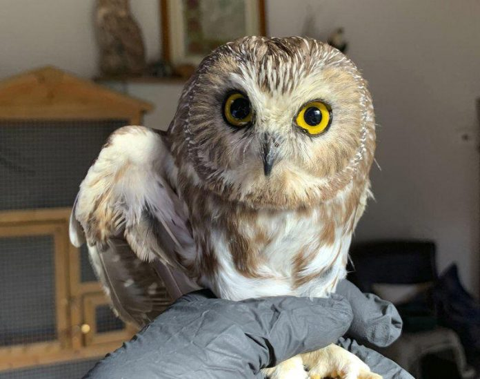 Owl rescued in Rockefeller Center Christmas tree released into the wild, Report