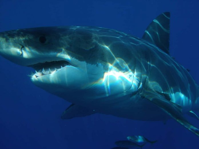 Megalodon sharks ate their siblings in the womb, Says New Study