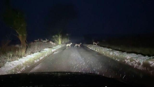 Video: Driver films 150-strong deer herd crossing road in Hertfordshire in the UK