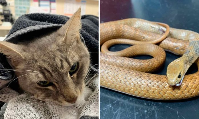 Family cat dies trying to protect young children from Australia's most dangerous snake, Report