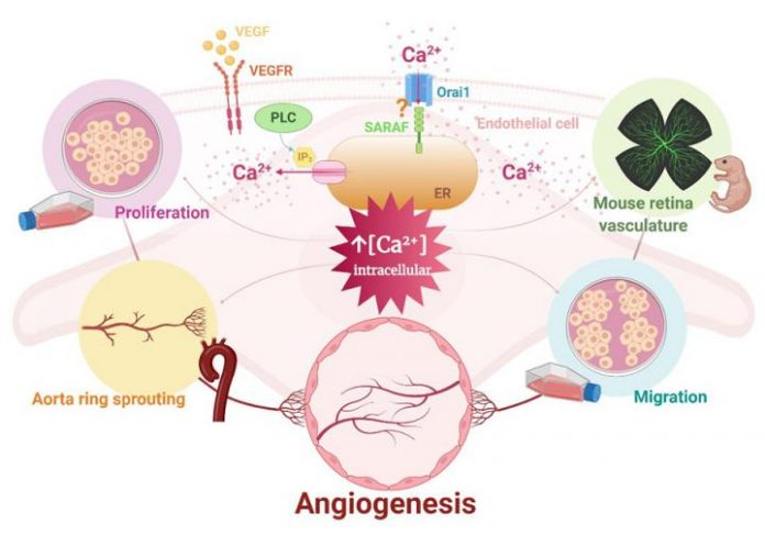 Research identifies new targets in the angiogenesis process