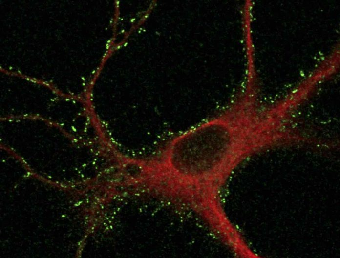 Study: Tracking receptor proteins can unveil molecular basis of memory