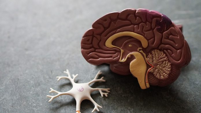 Scientists discover a dependency of glioblastoma on biotin distribution